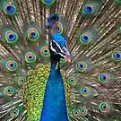 Peacock by Brendan Buckley