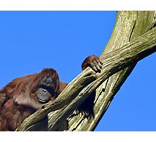 Tired Orang Utan Photographic Print
