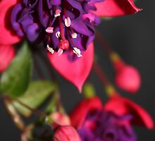 Fuchsia Flowers by Melissa Ann Blair