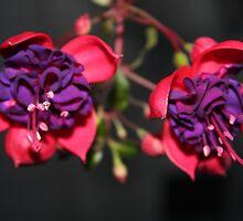Double Fuchsia Flowers by Melissa Ann Blair