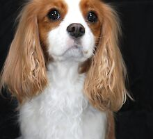 Soft and Sweet Cavalier King Charles Spaniel by daphsam