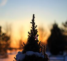 Sun setting behind miniature pine by vel0811