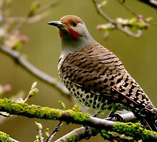 NORTHERN FLICKER by RoseMarie747
