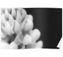 Lupine in Black and White Poster