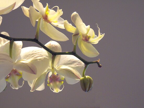 Orchid Collection - 6  by Marcia Rubin