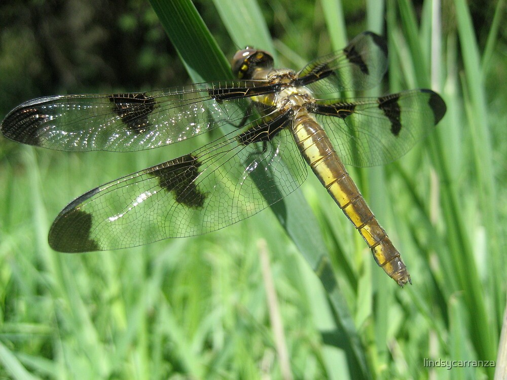 The Wings of a Dragonfly by lindsycarranza