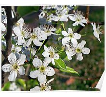 Pear Tree Blossoms IV - White Spring Blooms Poster