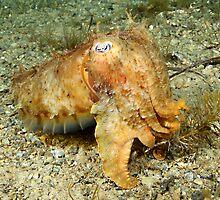 Rapid Bay Jetty Cuttlefish by Deb Aston
