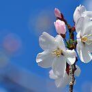 Yoshino Cherry Blossoms by Gretchen Dunham