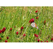 Butterfly on Clover Photographic Print