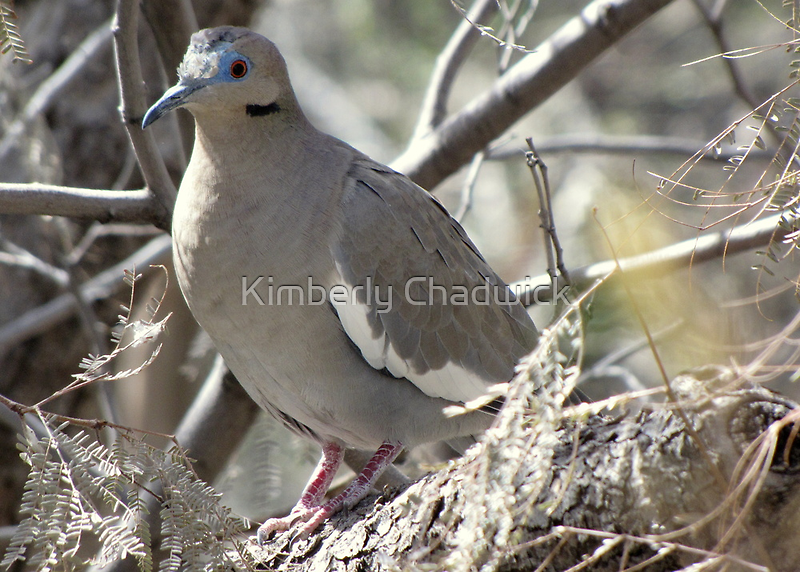 White-winged Dove by Kimberly Chadwick
