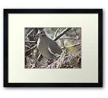 White-winged Dove Framed Print