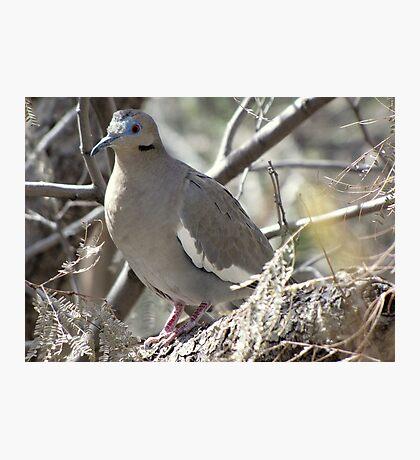 White-winged Dove Photographic Print