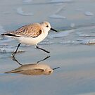 """Quick Steps"" - A Sanderling  by John Hartung"