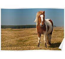 Cornish Pony Poster