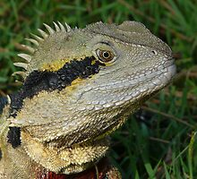 Senior Male Water Dragon - Portrait Sitting by stevealder