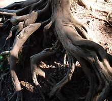 Twisty tree roots, Lake Superior, Gooseberry Falls by joannarne