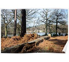 Virginia Water: Windsor Great Park, UK. Poster