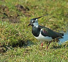 Lapwing In 3D by Robert Abraham