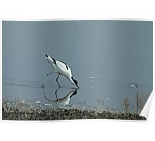 Foraging Avocet Poster