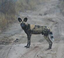 African Wild Dog by Varkenjaab