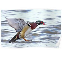 Flight of the Wood duck Poster