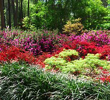 Azalea garden by Robert Brown