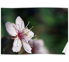 Pink Cherry Blossom_3 Poster