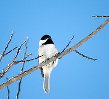 Black-capped Chickadee March 24th, 2011 by Robin Clifton