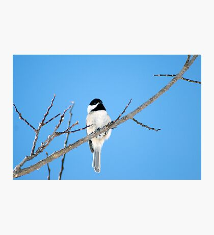 Black-capped Chickadee March 24th, 2011 Photographic Print