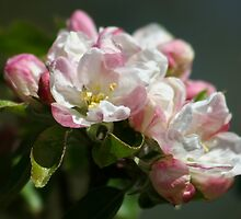 Apple Blossom Time Again by AnnDixon