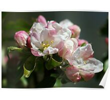 Apple Blossom Time Again Poster