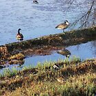 geese in pond by LisaBeth