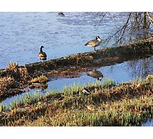 geese in pond Photographic Print