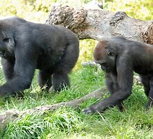 Gorillas - San Diego Zoo - California by Phil Roberson
