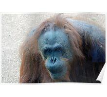 Orangutan - San Diego Zoo - California Poster