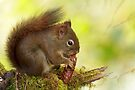 RED SQUIRREL by Sandy Stewart