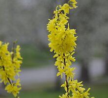 Forsythia Branch by astonishann