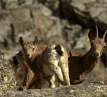 Female of Siberian Ibex with goatling by Michal Cerny