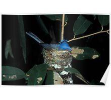 Sri Lankan dusky blue flycatcher, Sri Lanka Poster