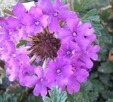 VERBENA by Picture-It