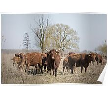 Bovine Animals Poster