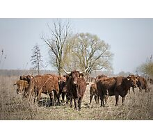 Bovine Animals Photographic Print