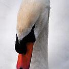 swan portrait by Javimage