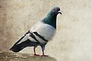 Pigeon by Eve Parry