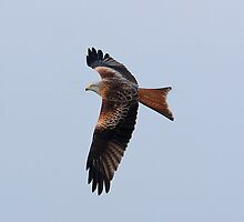 Red Kite Soaring by Mark Hughes