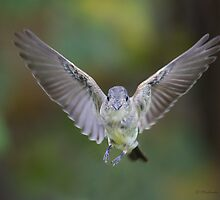 Eastern Phoebe in flight by Michaela Sagatova