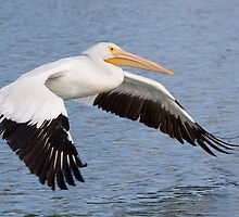 American White Pelican. by Daniel Cadieux
