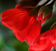 New geraniums by Celeste Mookherjee