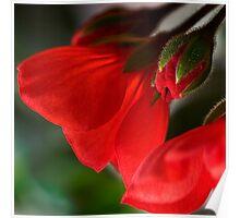 New geraniums Poster